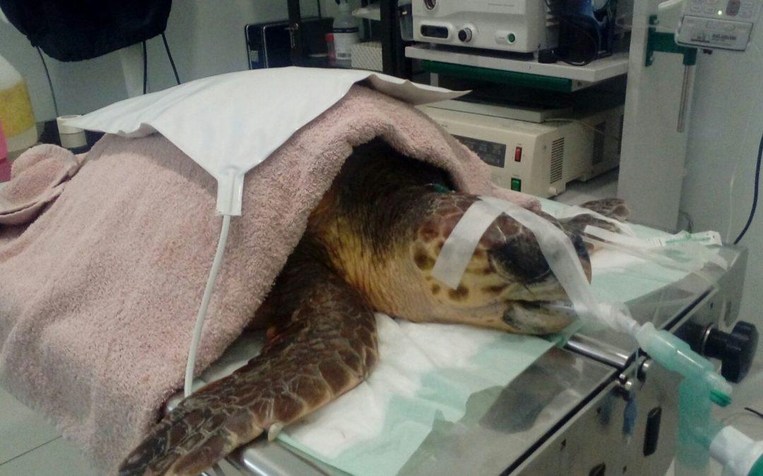 «Vanesa» ha tenido que ser intervenida en el quirófano por el equipo veterinario del Centro de Recuperación de Palma Aquarium