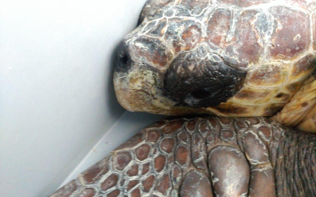 Llega «Vanesa», un nuevo ejemplar de tortuga marina al Centro de Recuperación de Palma Aquarium