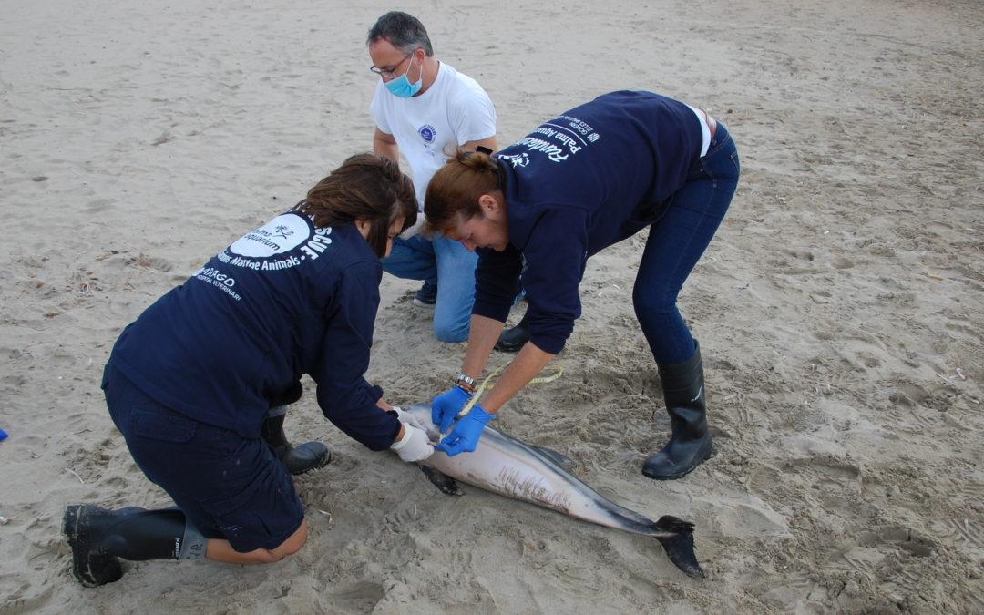 El Equipo de Rescate ha atendido cuatro varamientos de delfines en Mallorca