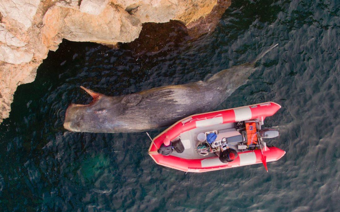 Un cachalote ha varado en la Bahía de Pollença