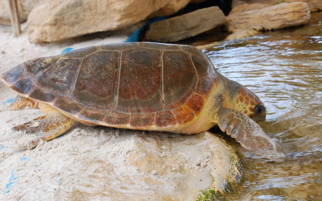 Tano ha sido trasladado a la instalación exterior de tortugas marinas de Palma Aquarium