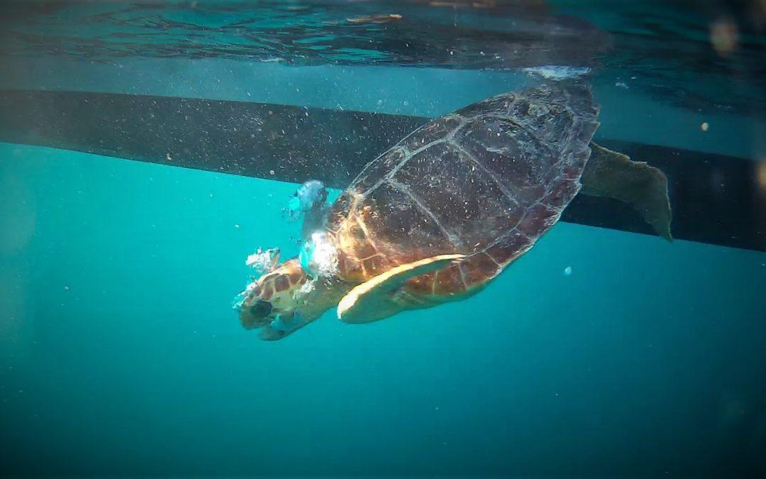 Dos tortugas marinas vuelven al mar tras meses de rehabilitación en el Centro de Recuperación