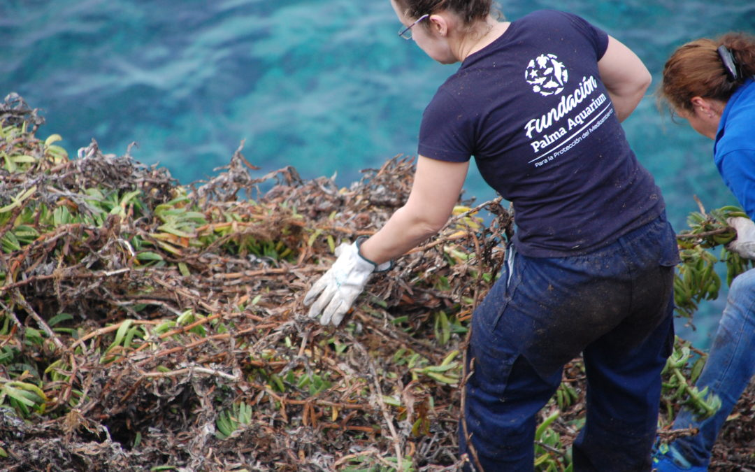 La Fundación Palma Aquarium participa en el programa de erradicación de «Carpobrotus edulis»