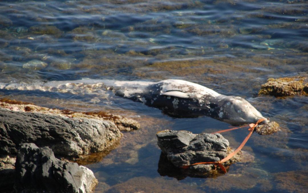 El equipo del Centro de Recuperación de Palma Aquarium se desplaza a Menorca para atender el varamiento de un Zifio de Cuvier