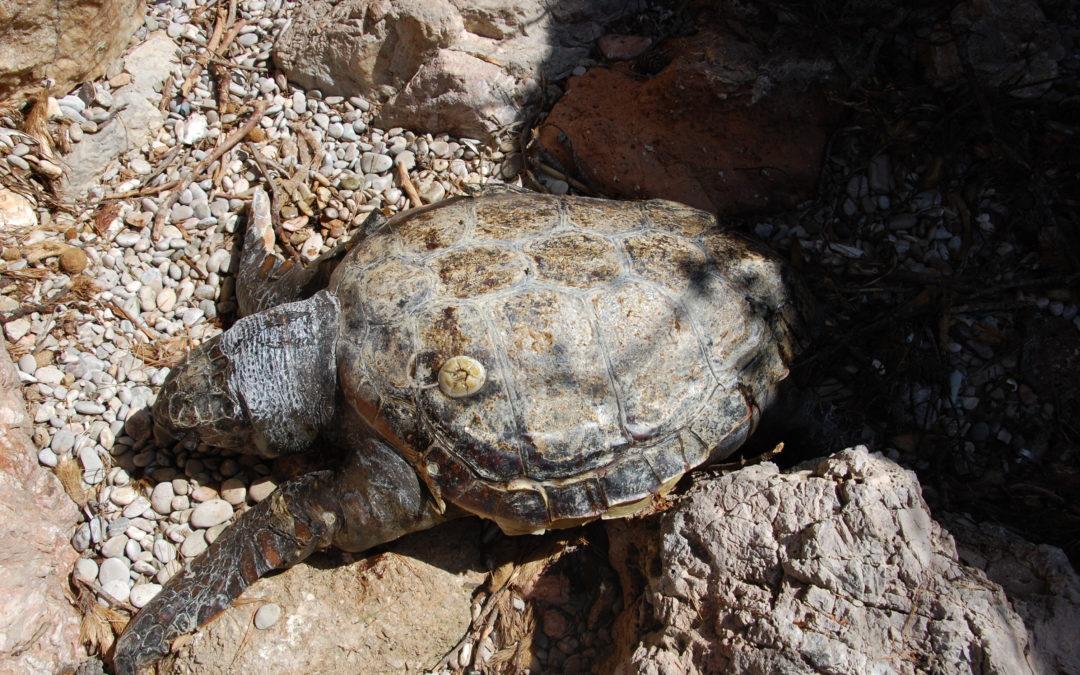 Han aparecido dos tortugas marinas muertas en el municipio de Capdepera