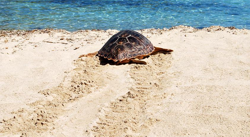 Si encuentras un rastro o nido de tortuga marina, ¡AVISA!