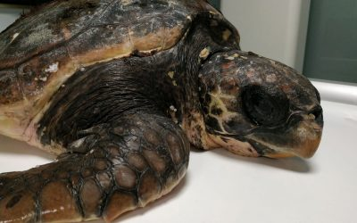 Un verano de rescates de tortugas marinas