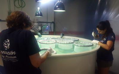 Las crías de caretta caretta que crecerán en Palma Aquarium durante un año