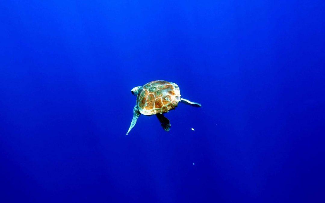 Lui, Vaiana & Speedy released back into the sea