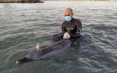 Varamiento de delfín listado en la bahía de Pollença