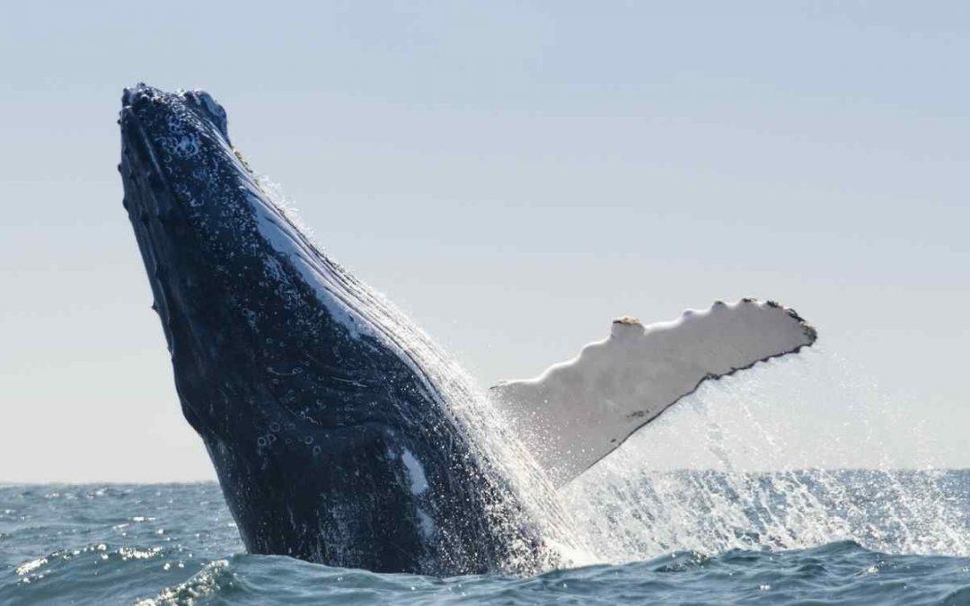 Estrategia de alimentación de las ballenas jorobadas: red de burbujas